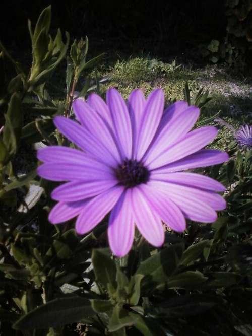 daisy flower purple flower garden floral