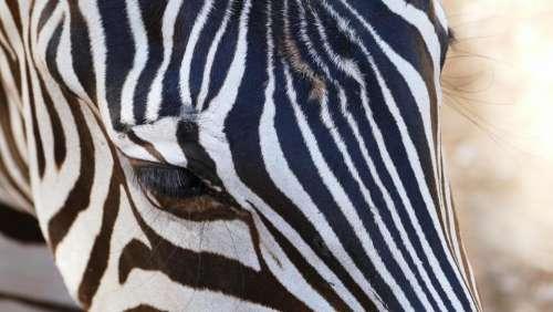 Zebra animal pattern nature
