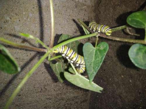Caterpillars caterpillar bug nature