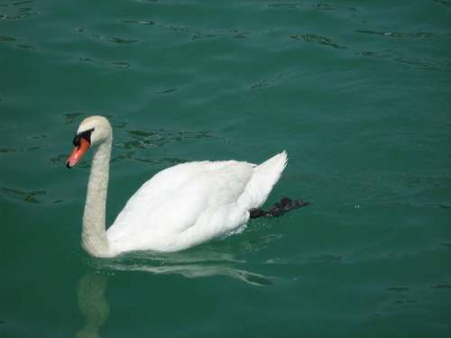 swan bird animal lake water