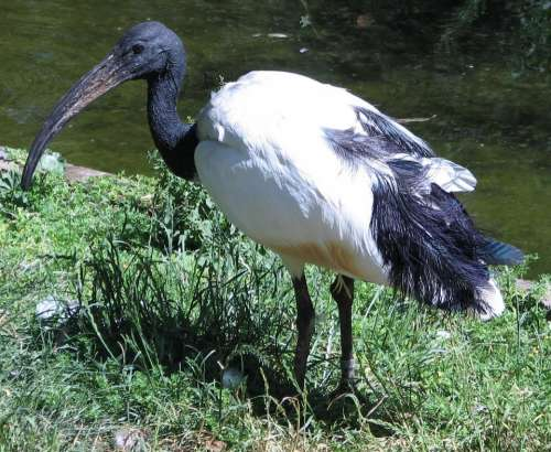 sacred ibis ibis beak bird Egypt