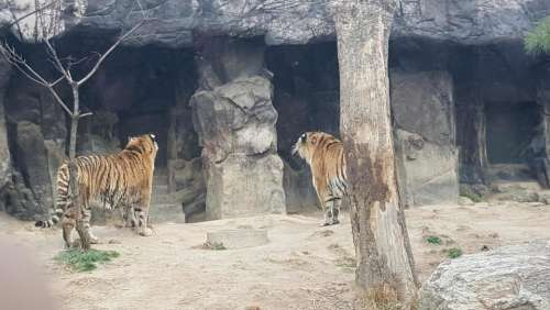 zoo Seoul animals Bengal Tiger