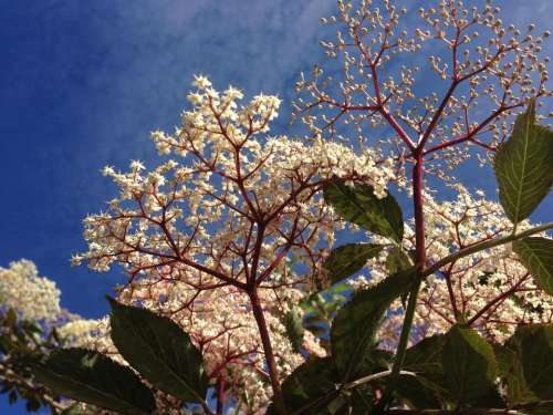 Elderflower elder blossom white sky