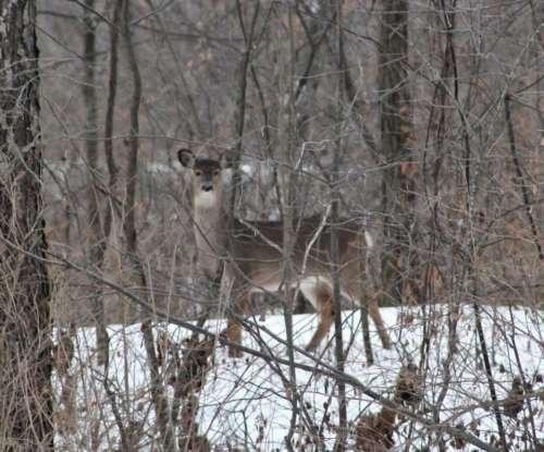 animal deer winter alert watchful