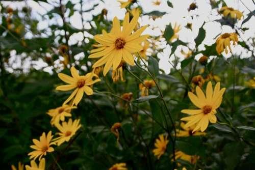 Yellow Flower Sunchoke Flower Petal Nature