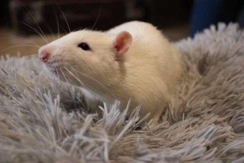 White rat white mouse