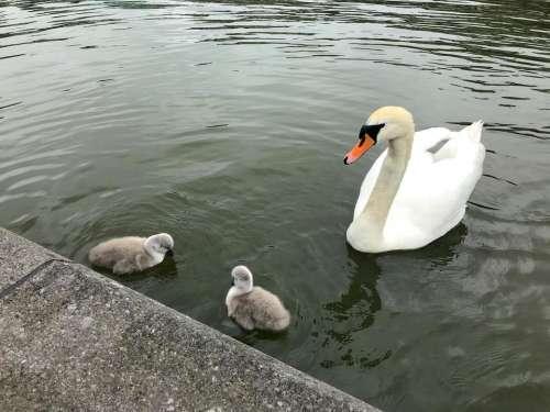 swan cygnets babies river graceful