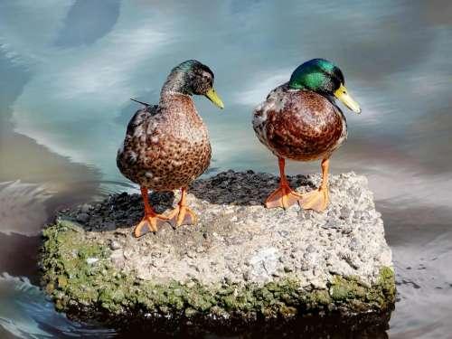 duck pair bird water river