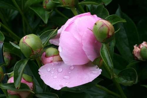 #peony peonies flower spring garden