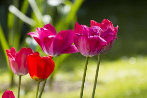 pink red tulip bulb spring