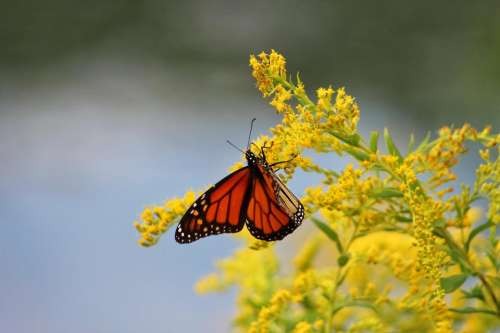 insect butterfly monarch wildflowers goldenrod
