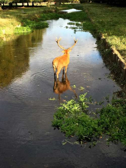 deer drinking stream river park