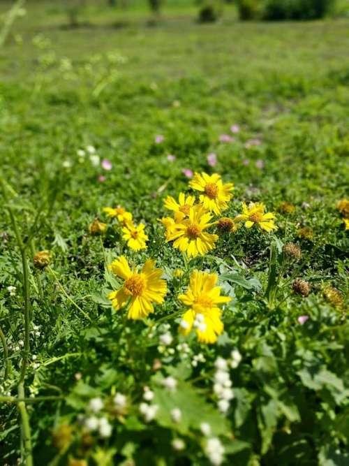 wild flowers yellow #flower-cluster