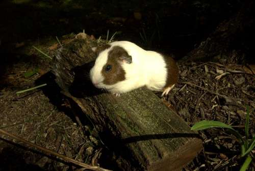 guinea pig small animal log nature furry