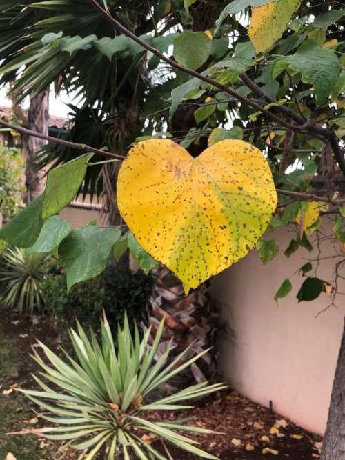 heart shaped leaf plant
