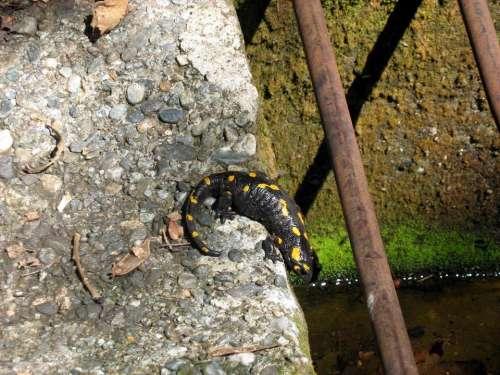 salamander amphibian animal #animals