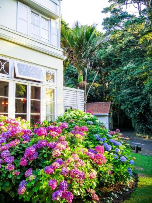 house hydrangea flowers garden