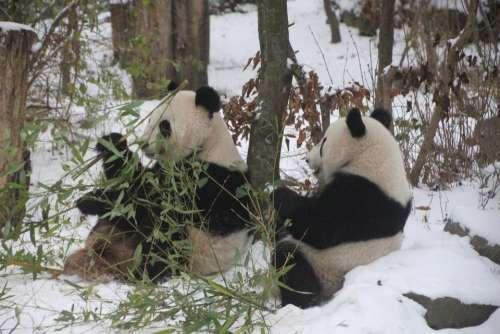 Panda black white bear. zoo Vienna