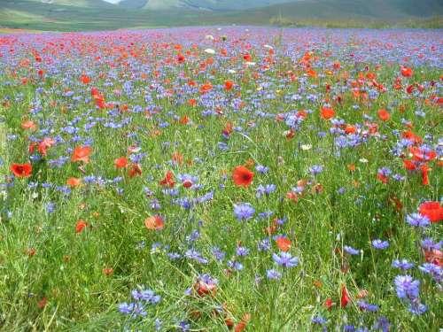 Umbria castelluccio di norcia flowers floral landscape