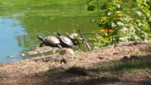 turtles sunning pond bank