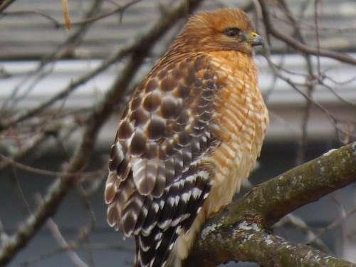 red shouldered hawk bird of prey hawk