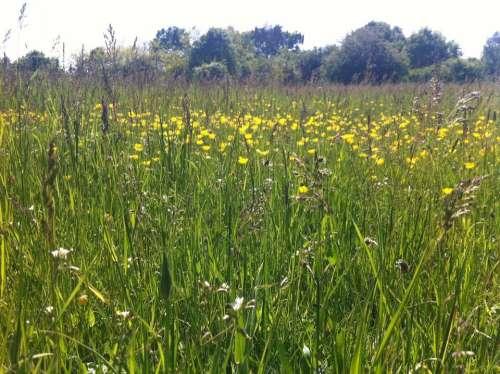 Buttercups wild flowers meadow grass rural