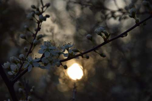 tree sundown spring flower petals