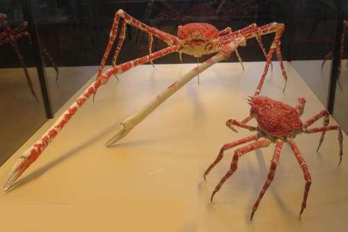 crabs giant crab spider crab legs orange