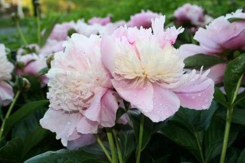 #peony peonies flower flower garden