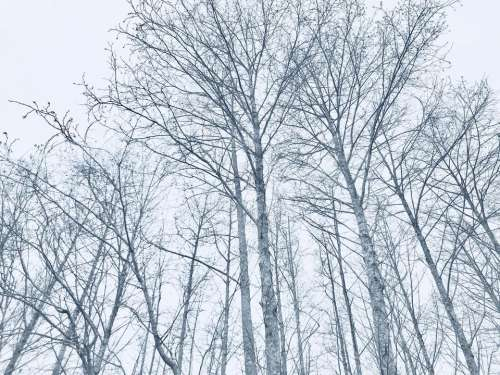trees winter stark fall birch