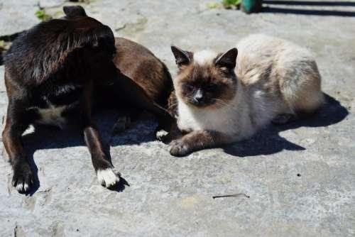 Siamese cat feline pet domesticated