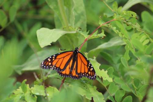 insect butterfly monarch wings summer