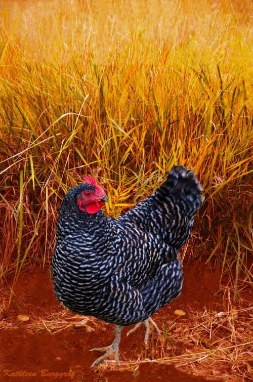 Autumn chicken hen Autumn