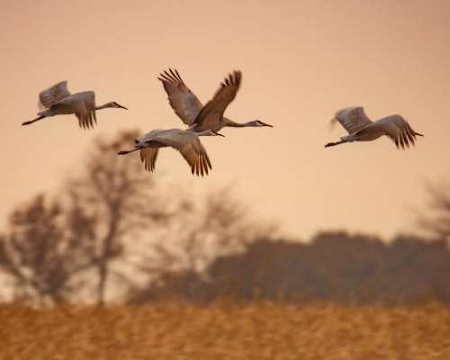 sandhill cranes wild birds fly flying