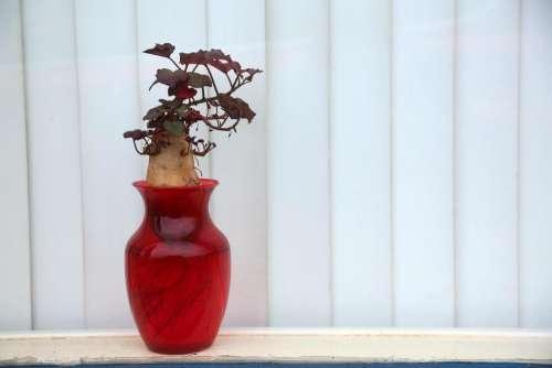 potato vase red window bonsai potato