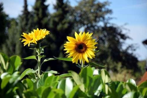 Autumn season harvest harvest time sunflowers