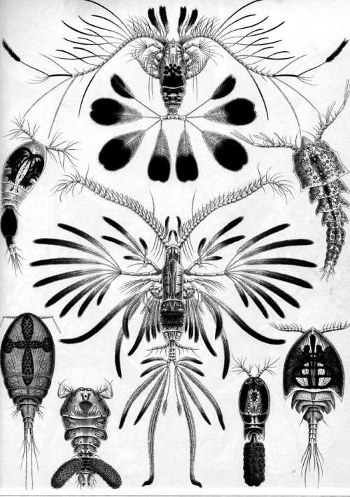 Haeckel art forms nature animal drawing