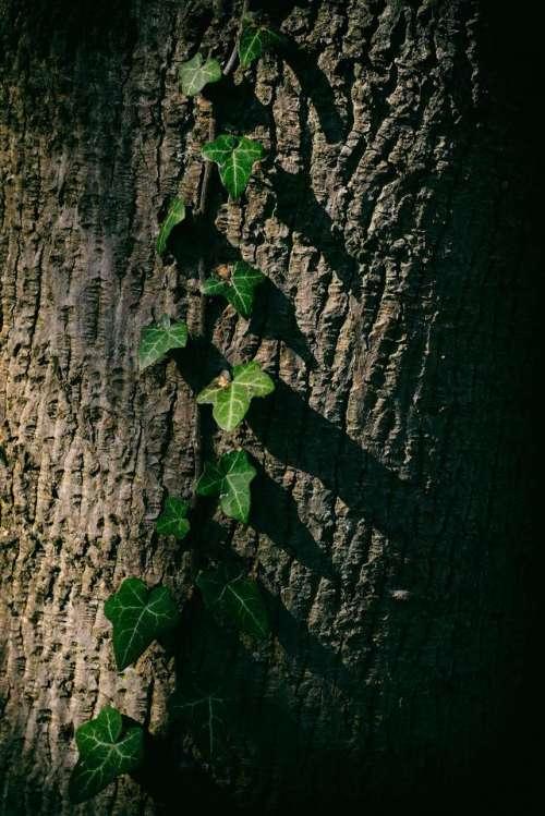ivy climb climbing plant tree