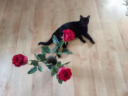 valentines cat roses romantic funny