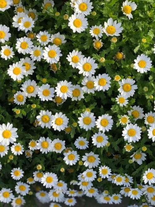 Daisy daisies floral flowers