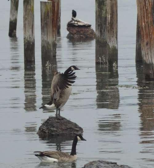 Canadian Geese bird geese goose