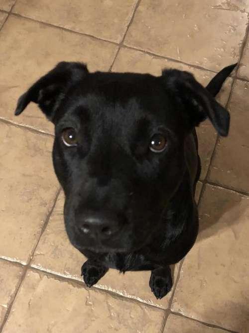 black lab lab dog black dog female dog