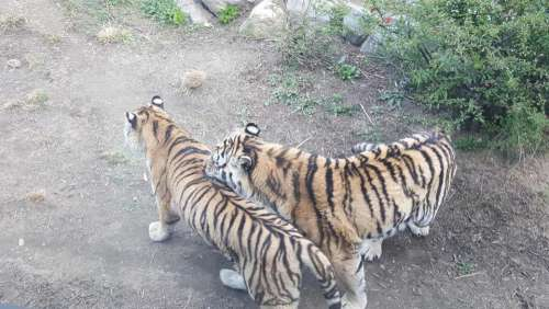 zoo animal tiger beast predatory