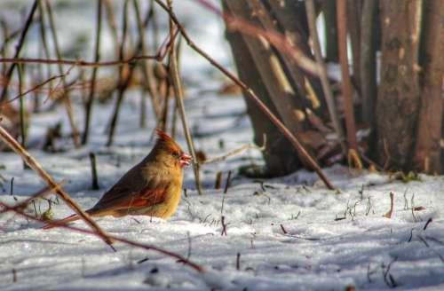 nature outdoors wildlife birds cardinal
