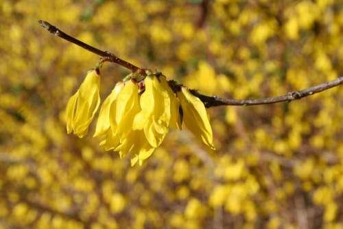 forsythia forsythia flower yellow flower flowering shrubs garden