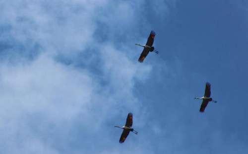 animals birds cranes sandhill flight