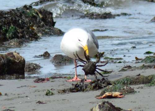 Crab nature feeding seagulls