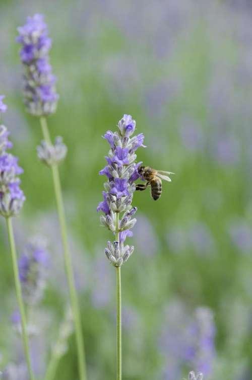 Lavander bee flower nature