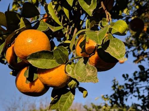 Orange oranges fruit