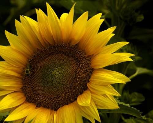 Sunflower garden flower